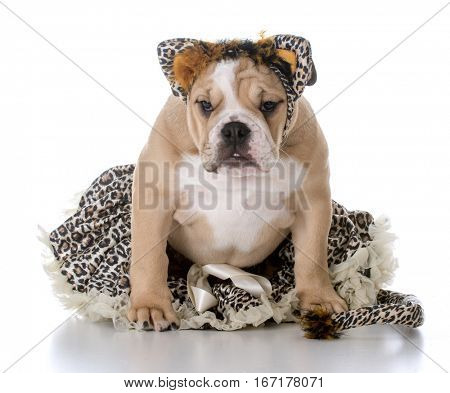 bulldog puppy wearing a cat costume on white background