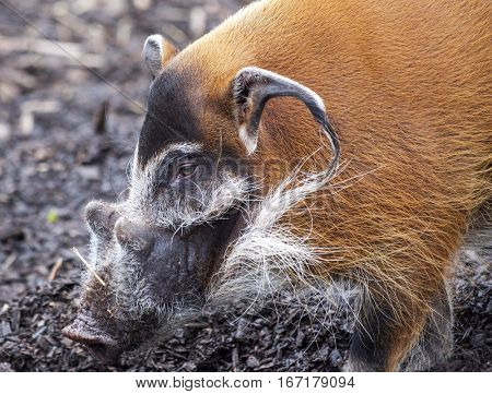 Muzzle boar closeup.Bush pigs went for a walk. A large wild boar, with a bright ginger color, large ears and sharp fangs.