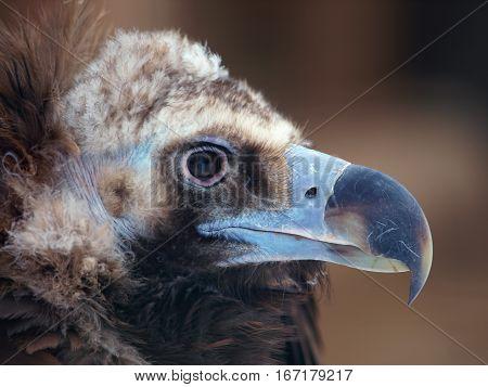 Head of adult cinereous vulture - Aegypius monachus