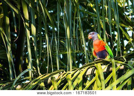 Australian rainbow lorikeet parrot bird sitting in palm tree