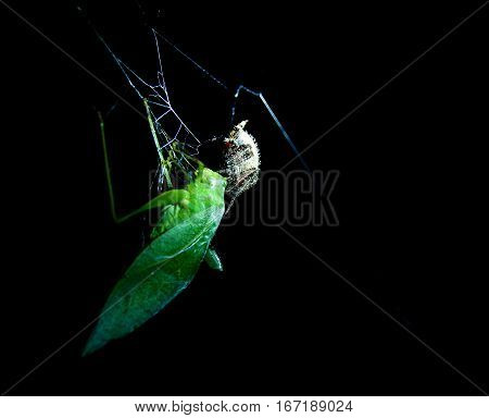 Grasshopper caught in a spider web, while the spider injects it with venom