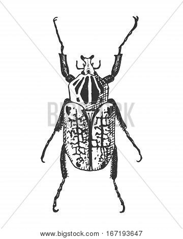 beetle, insect species isolated engraved, hand drawn animal in vintage style old goliath
