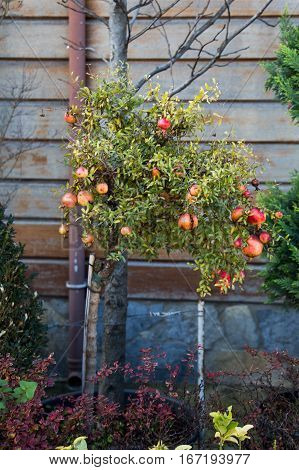 Ripe pomegranate on the branch of the pomegranate tree