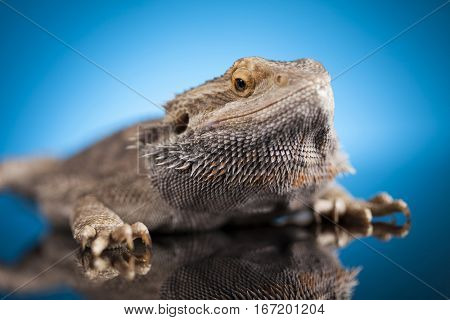 Dragon, Agama Lizard on blue mirror background