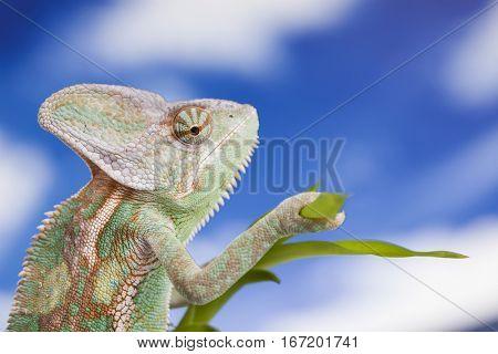 Green chameleon,lizard on sky background