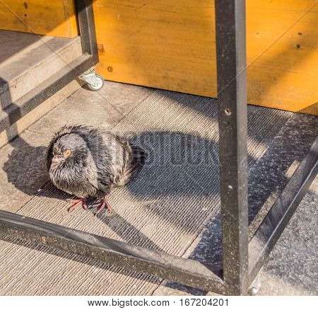 Single pigeon standing under a table with the bottom crossbar visible and the sun casting a shadow of the table leg across the pigeon