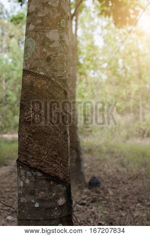 Surface And Texture By Tapping Latex From Rubber Tree