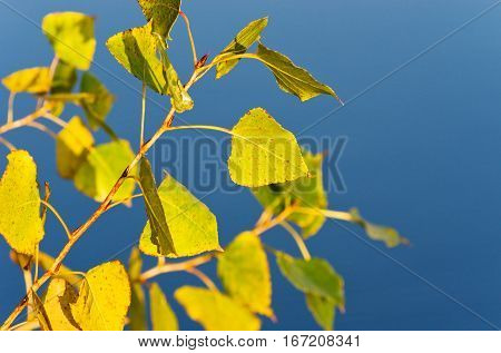 Autumn twig of poplar on a background of water