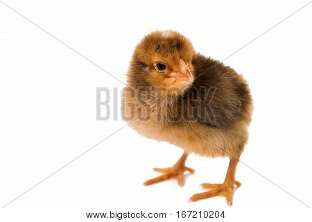 farming bird little chicken isolated on white background
