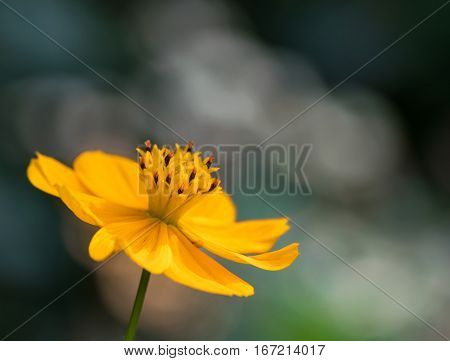 Beautiful yellow cosmos flower against muted color natural background