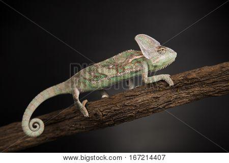 Green chameleon,lizard