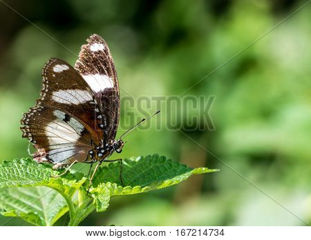 Beautiful male Danaid Eggfly (Hypolimnas misippus) butterfly with brown wings and white bands resting on green leaf