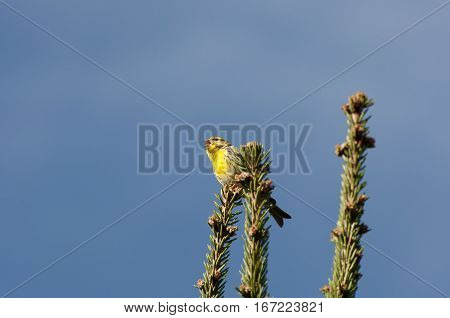 Male of European Serin, Serinus serinus, perched on a branch of Picea abies