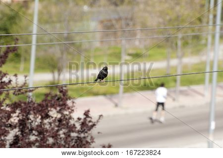 Bird and runner. Spotless Starling perched on a wire and at the background a man running in the street.