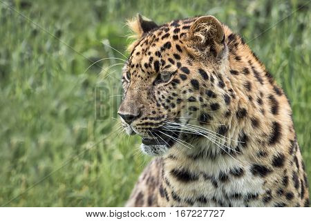 Close Profile portrait of a leopard looking slightly to the left. Detailed fur and whiskers