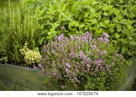 Thyme Thymus vulgaris plant growing in the herb garden