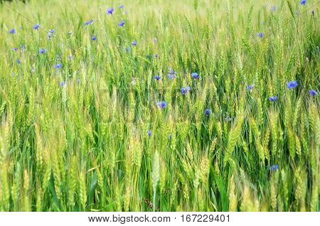Wheat Field and Cornflower with Copy Space. Wheat Background. Wheat Texture Photo.