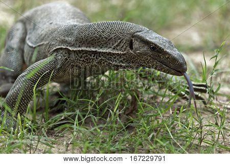 Monitor Lizard in Yala National Park Sri Lanka