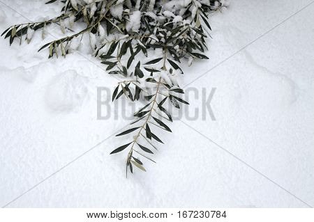 olive leaves for love letter in winter winter. olive tree and snow in city park