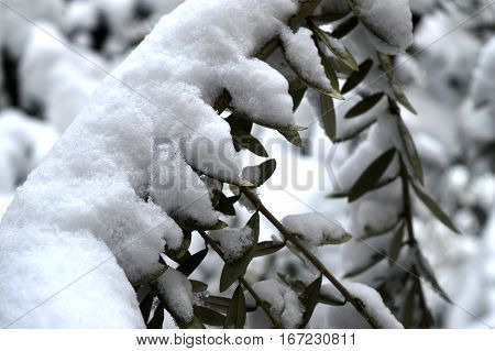 winter. olive tree and snow in city park