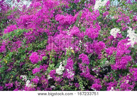 Pink bougainvillea flower with leaves beautiful in the garden background.