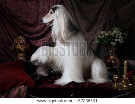 Beautiful Afghan hound dog with raised paw in the Arab style interior with flowers and fruit