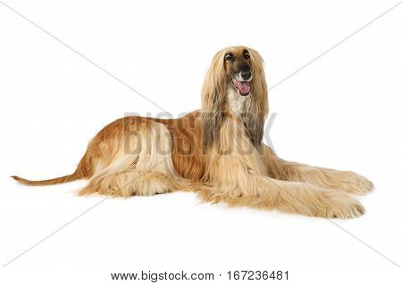 Thoroughbred dog Afghan hound isolated on white background