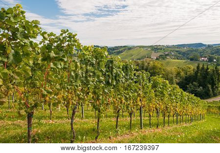 vineyard on a sunny sunday morning in late summer
