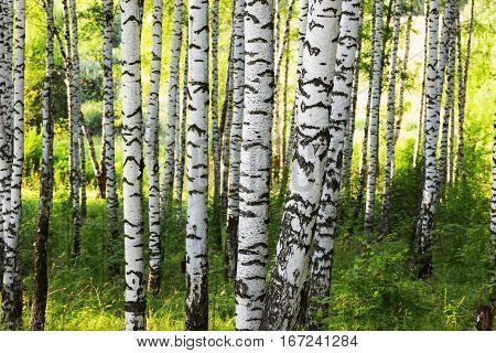 Summer In Sunny Birch Forest