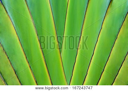 Petiole pattern of travellers palm tree. Natural texture