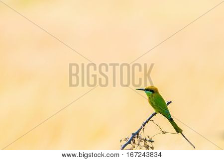 Beautiful Green Bee eater resting on a branch against natural background