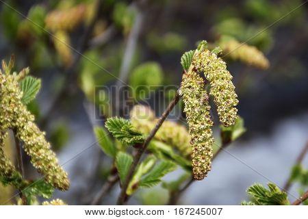 catkins of a green alder (alnus viridis)