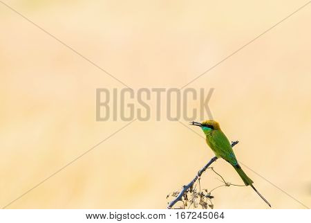Bee eater resting on a branch with bee in its beak against natural background
