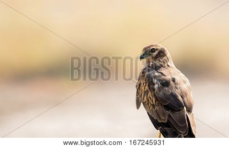 Beautiful eastern marsh harrier perching, looking at the camear, against light cream natural background
