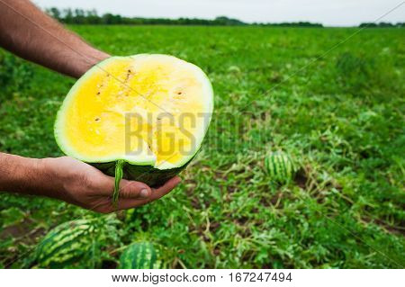 Farmer Holds A Ripe Watermelon With Yellow Pulp
