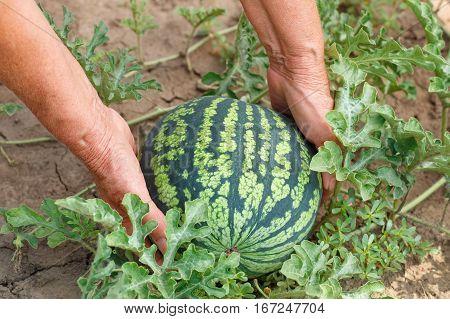 Hands of woman with watermelon growing in the garden. Harvest. Ripe organic watermelon in field. Farmer holding watermelon