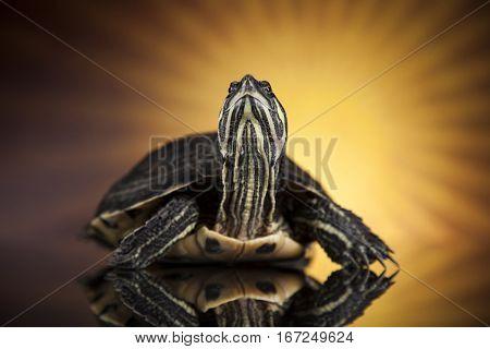 Water turtle, animal