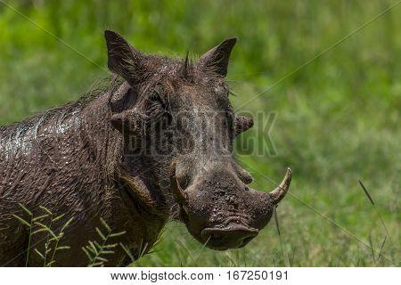 Common warthog ( Phacochoerus ) close up photo