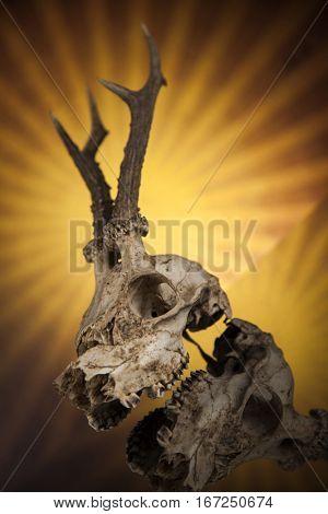 Deer skull, black mirror background