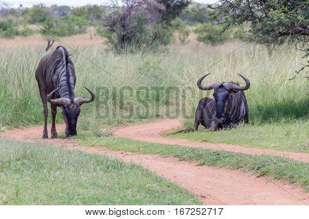 Blue wildebeest next to a dirt road