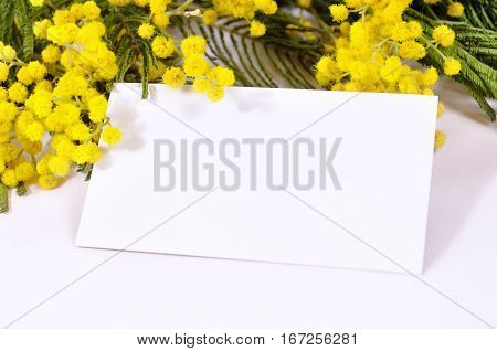 Spring background - white card with free space for text in the spring mimosa flowers. Spring still life with flowers of mimosa