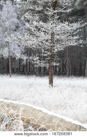 trees in forest in winter frost Drenthe Netherlands