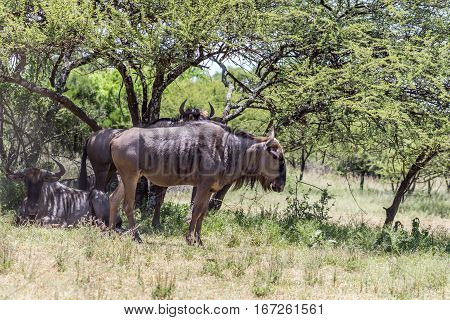 Blue wildebeest (Connochaetes taurinus) resting in the shade of a tree