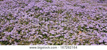 Flowers ageratum houstonianum on flowerbed horizontal view.
