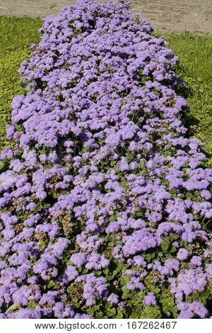Flowerbed with flowers ageratum houstonianum blue colour.