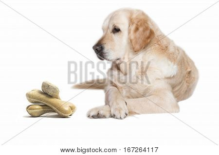 Lovely Golden Retriever Dog lying with its front paws crossed on the white background. Pile of dog bones is in front of the dog.