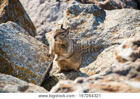 sweet curious california ground squirrel animal in california
