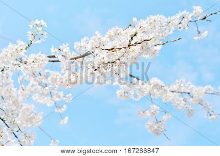 Beautiful white cherry blossoms and blue sky Japan