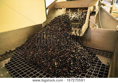 Processing of the olives in a modern oil mill.