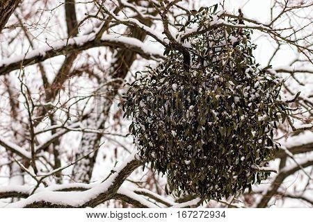 Still life composition with mistletoe. winter tree disease.